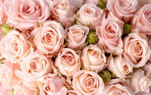 thumb2-chvety-mnogo-roz-rozovye-rozy-bagato-trojand-rozhevi-trojandu